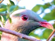 15-10 Waiuku 6 - Kereru - wood pigeon